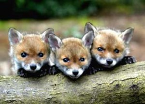 foxes 300x215 The Little Foxes that Ruin the Vineyard
